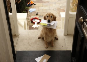 Golden Retriever holding mail
